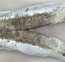 cococha-merluza-pescado